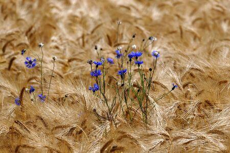 Blue cornflowers (Centaurea cyanus) in a barley field Stock Photo - 130813351