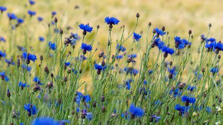 Blue cornflowers (Centaurea cyanus) in a green meadow