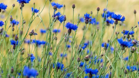 Blue cornflowers (Centaurea cyanus) in a green meadow