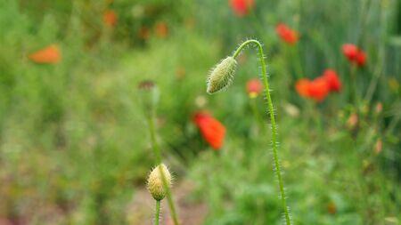 Bud of a closed poppy flower in a big poppy field Stock Photo - 130813397