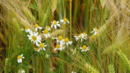 Real chamomile (Matricaria chamomilla L.) in a barley field.