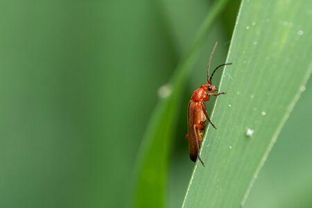 Red soft-beetle (Rhagonycha fulva) on a reed leaf. Reklamní fotografie