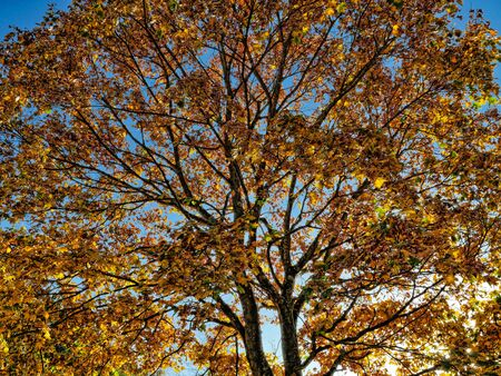 Autumnal treetop in the back light, blue sky Stock Photo - 130813411