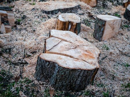 Parts of a sawn tree trunk, unsorted with a lot of sawdust. Stock Photo - 130813472
