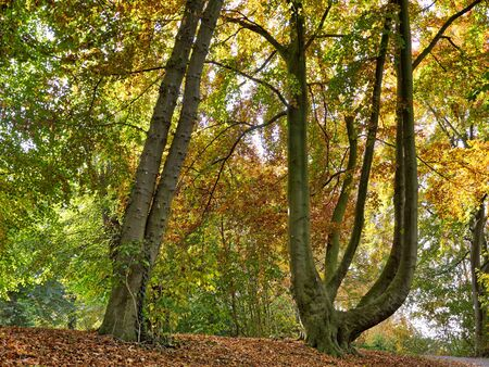 Striking grown trees in autumn forest.