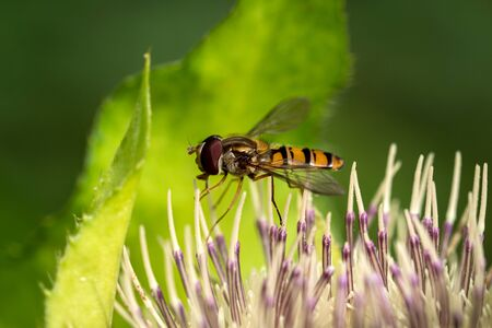 Hoverfly (Syrphidae) above a flower, macro shot.