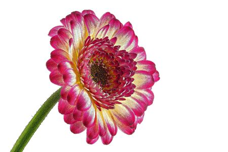 Red-yellow gerbera, worked as a drawing