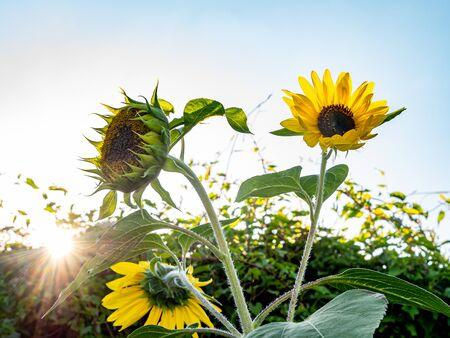 Sunflowers illuminated by sun rays in the backlight. Reklamní fotografie