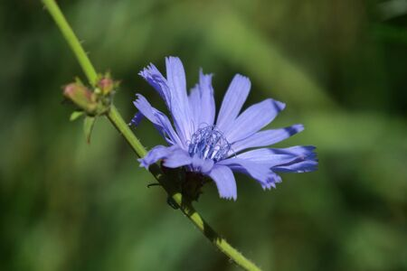 single blue chicory blossom. Taken in a natural garden.