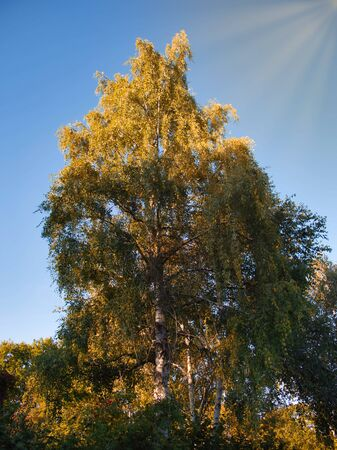 Treetop of a birch illuminated by the sun.