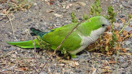 Monk Parakeet (Myiopsitta monachus) living free in the Canary Islands Stock Photo - 130813519