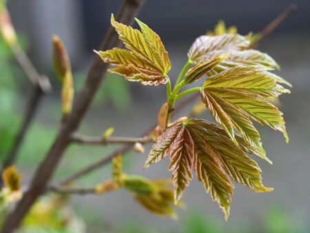 Young green leaves of a Norway maple tree blooming in spring.