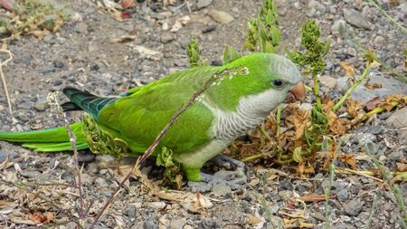 Monk Parakeet (Myiopsitta monachus) living free in the Canary Islands