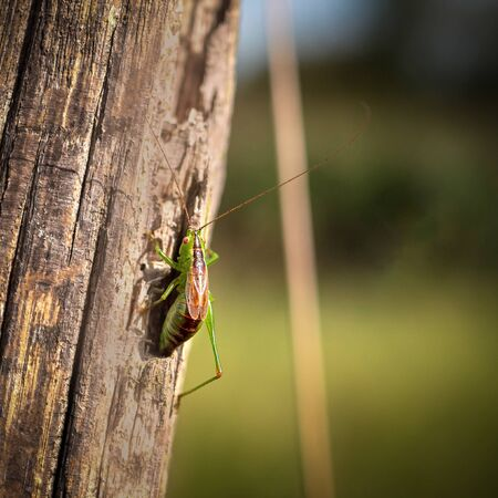 Grasshopper with only 5 legs on a fence post. 스톡 콘텐츠