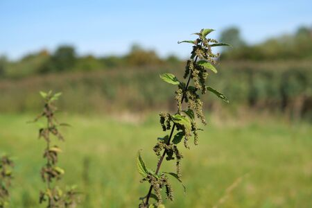 Burning nettle with ripe seed pods isolated, landscape shot. Stock fotó