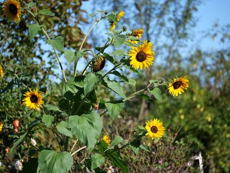 Jerusalem artichoke (Helianthus tuberosus), similar to a sunflower, root tuber edible.