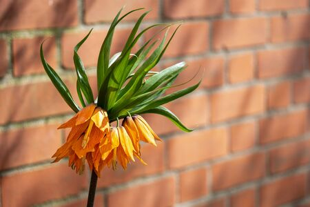 Lily Imperial crown (Fritillaria imperialis) in front of a red brick wall.