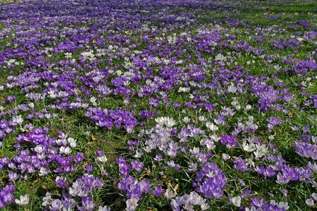 A meadow full of colorful crocuses.