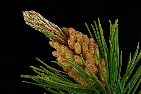Detail of a blossoming pine cones (Pinus sylvestris).