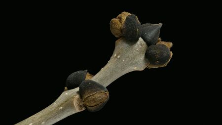 Branch with buds of an ash tree (Fraxinus excelsior)(Esche)