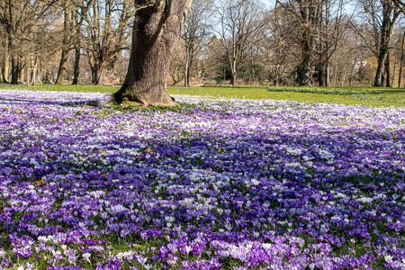 A meadow full of colorful crocuses in a park.