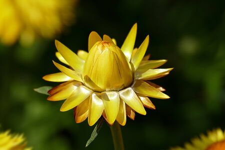 A straw flower (Xerochrysum bracteatum) in front of a beautiful green blurred background