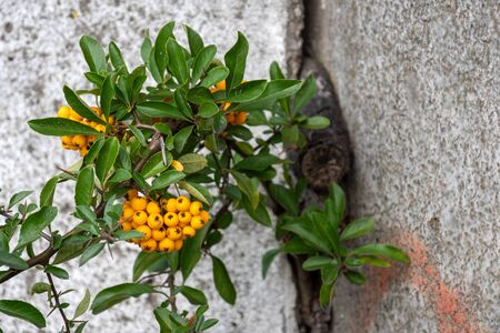 Sea buckthorn, also called pheasant berry, hawthorn and often lemon of the north. (Hippophae rhamnoides). Stock fotó