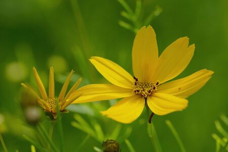 two teeth, bidens ferilifolia Goldmarie in front of a green background.