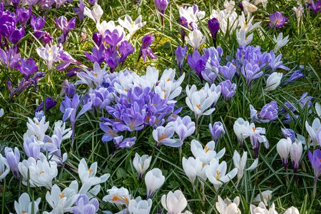 A meadow full of colorful crocuses, close-up. Stock fotó