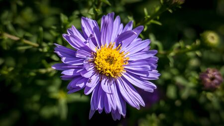 Aster dumosus, Violet Cushion-aster, Autumnaster illuminated by the sun.