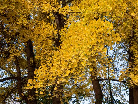 Branch of a ginkgo tree (Ginkgo biloba) in a park in autumn.