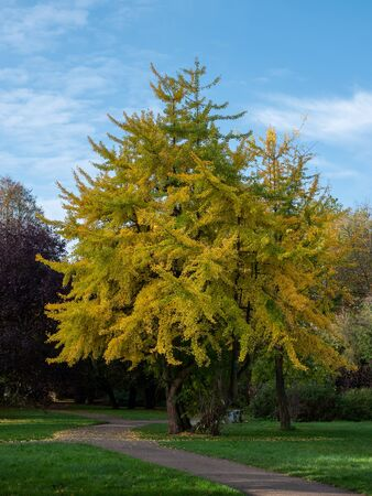 Ginkgo tree (Ginkgo biloba) in a park in autumn.