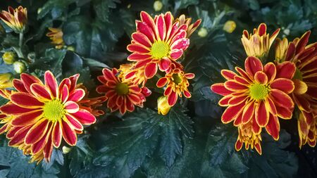 Red and yellow striped chrysanthemums close up.