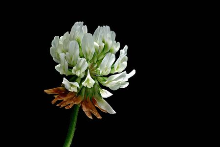 The white clover (Trifolium repens), also called creep clover is edible