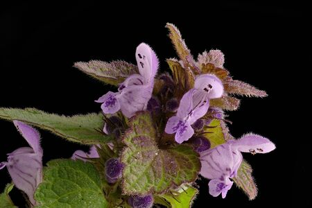 The purple-red deaf nettle (Lamium purpureum) is a species of deaf in the Family Lamiaceae