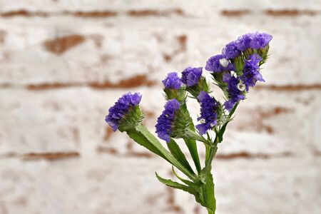 Close-up of a Blue Sting, Winged Beach Lilac, (Limonium sinuatum) Blue Chinese, in front of a light brick wall Stock fotó