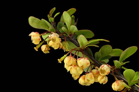 Common barberry (Berberis vulgaris), sour buckthorn, vinegar berry. Often used as a thorn hedge.
