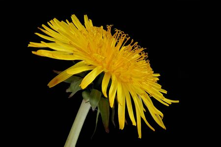 Single flower of the Ordinary Dandelion (Taraxacum sect. Ruderalia).