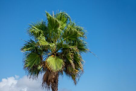 Treetop of a fan palm tree in Gran Canaria.