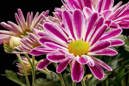 The garden chrysanthemum (Chrysanthemum morifolium) is a very variable, upright, perennial plant. The chrysanthemum is widely grown as an ornamental plant. Stock fotó