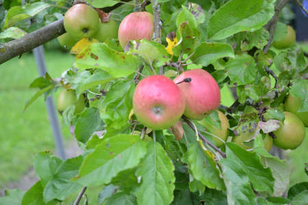 pome: apples on the tree