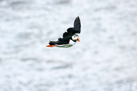 puffin: Puffin flying
