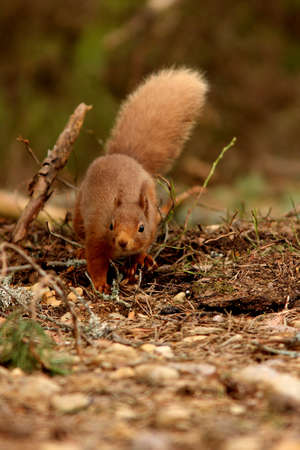 garten: Red Squirrel, RSPB Loch Garten, Scotland Stock Photo