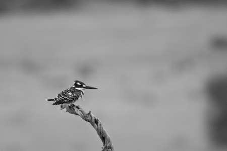 srokaty: Pied Kingfisher perched