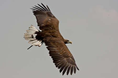 White-tailed Sea Eagle photo