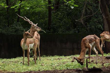 Herd of vulnerable species of reindeer and buck grazing the grassland. Deers looking in same direction. Banco de Imagens