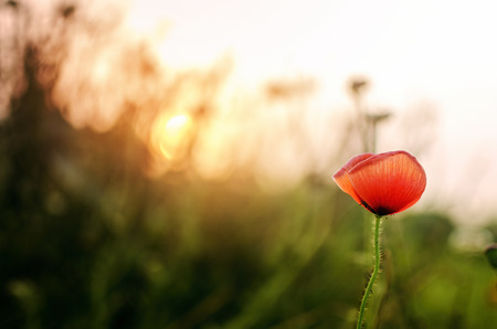 flowers field: spring season red tulip like flower at teh time of morning or sunset in summer or winter season with selective focus on flower and grass or foliage out of focus bokeh with sun shining through grass spreading warm sunlight creatiing a beautiful sunset or s
