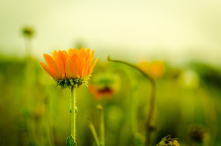 shining through: spring season daisy sunflower like flower at the  time of morning or sunset in summer or winter season with selective focus on flower and grass or foliage out of focus bokeh with sun shining through grass spreading warm sunlight creatiing a beautiful suns