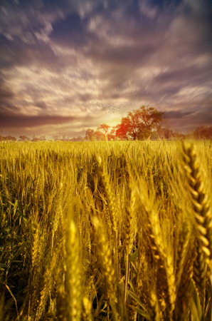 blue cloudy sky: wheat fields with dramatic sky birds flying home at sunset sunrise in morning or evening landscape depicting conept of towards the light