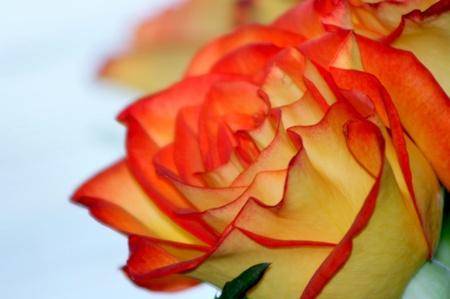 rosas naranjas: Rosas amarillas